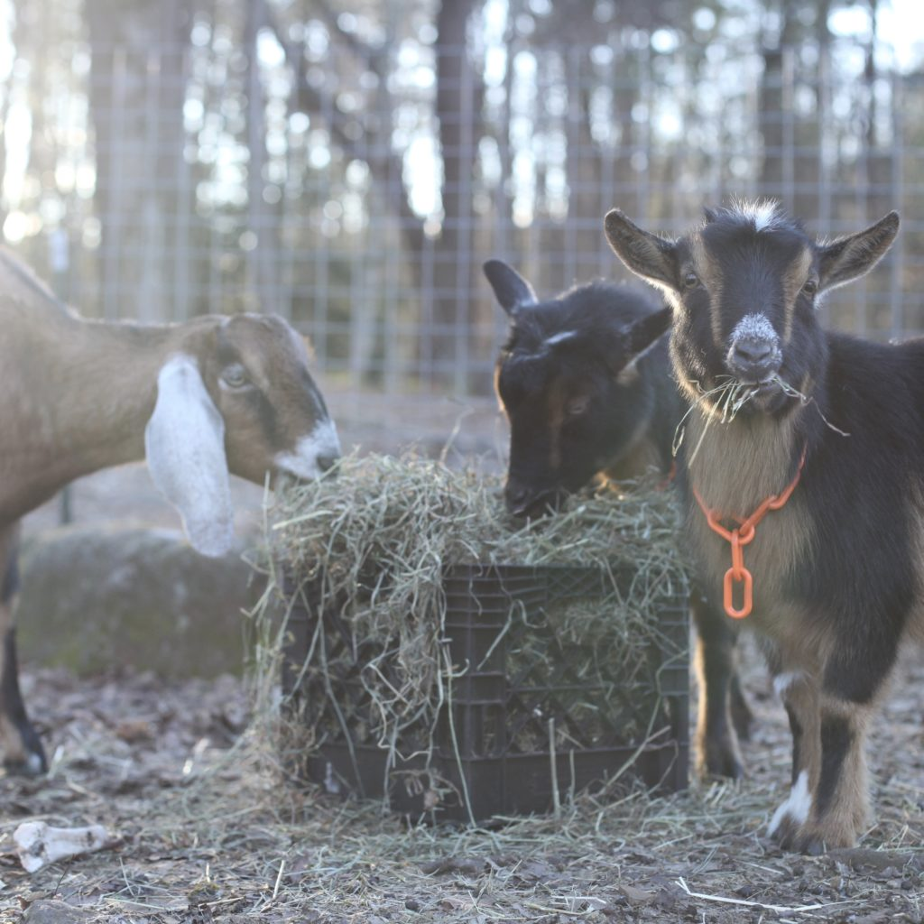What You Should Know Before Getting Goats | The Modern Day Settler